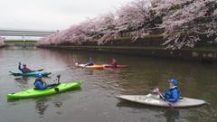 満開の桜花の下、綾瀬川の浮遊ゴミ回収をする草加パドラーズの会員たち・・・