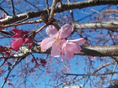 『そうか桜』一分咲き !